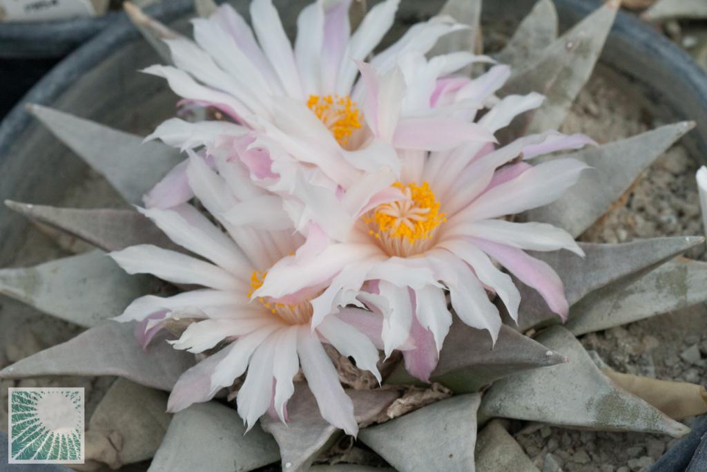 Le piante del genere Ariocarpus fioriscono in autunno.