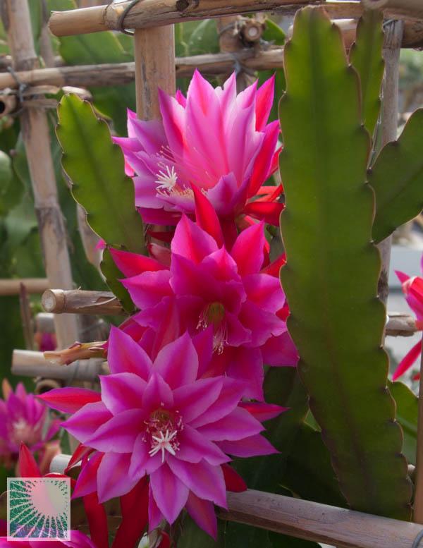 x Epiphyllum