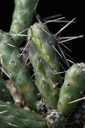 Opuntia whippley minor