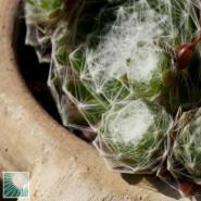 Sempervivum arachnoideum è una delle succulente più facili da coltivare in Italia.