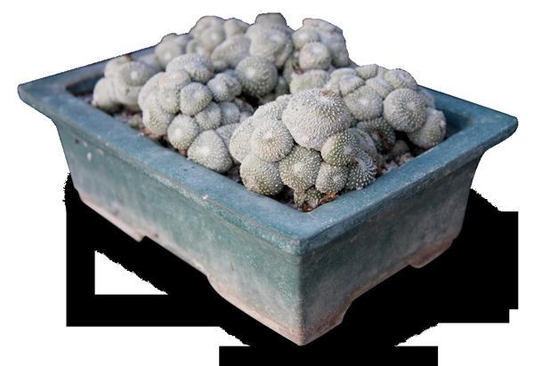 Blossfeldia liliputana è una delle piante succulente 'difficili.