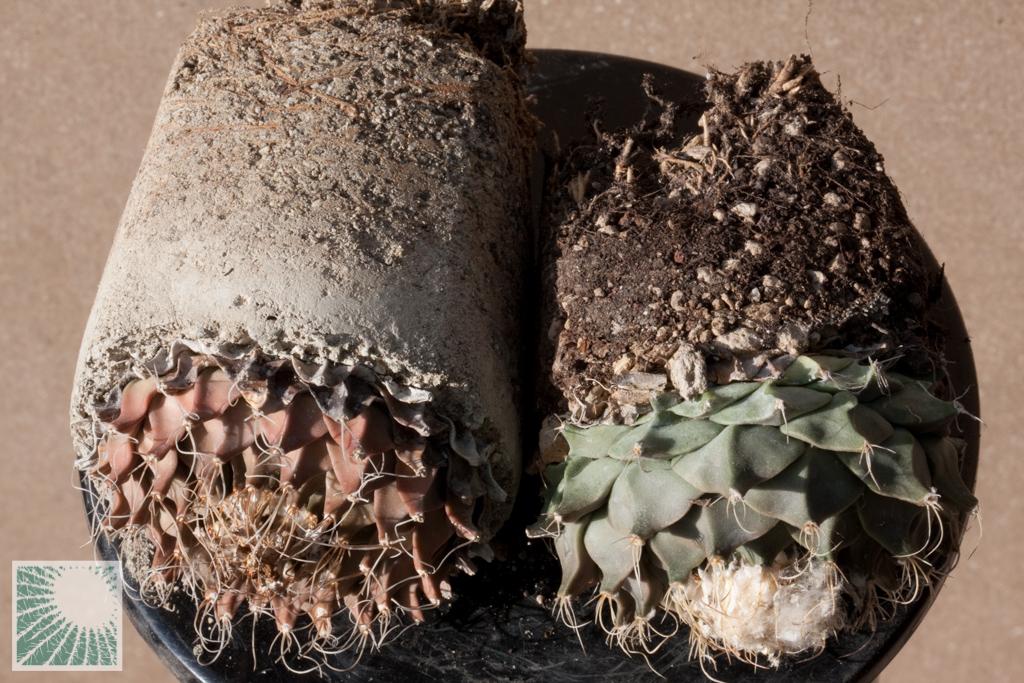 Due piante di Obregonia denegrii a confronto. A sinistra, vecchio esemplare in marna, simile a una pianta in natura; a destra giovane esemplare in substrato organico, di colore verde intenso e con i grossi tubercoli tipici di una pianta forzata.