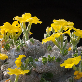 Altre succulente