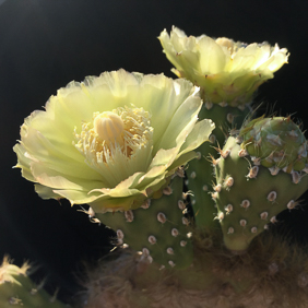 Opuntia