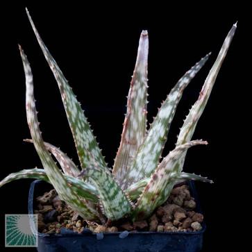 Aloe cv. Lizard Lips, esemplare intero.