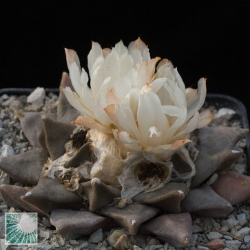 Ariocarpus retusus, esemplare intero.