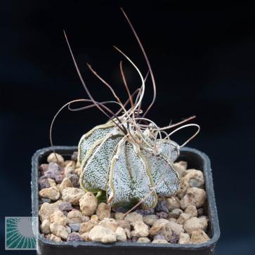 Astrophytum capricorne, esemplare intero.