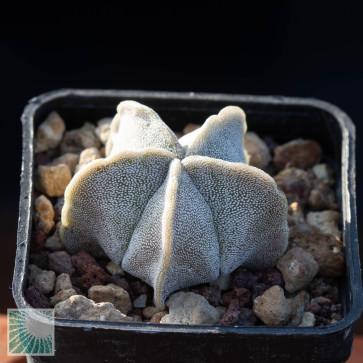 Astrophytum myriostigma var. strongylogonum, esemplare intero.