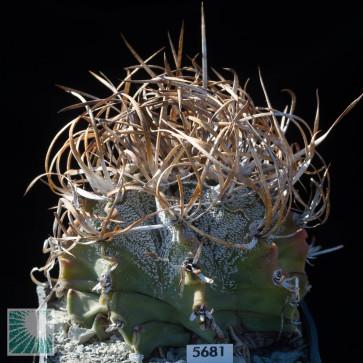 Astrophytum crassispinum, esemplare intero.