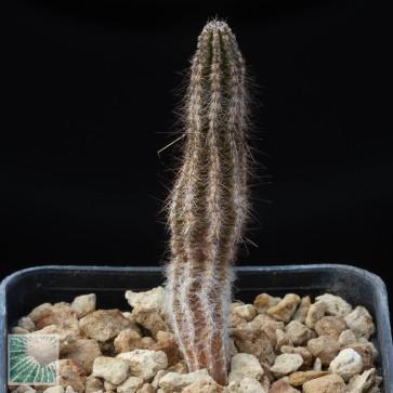 Echinocereus schmollii, esemplare intero.