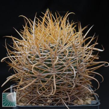 Ferocactus chrysacanthus, esemplare intero.