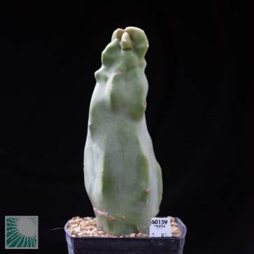 Lophocereus schottii f. mieckleyanus f.ma monstrosa, esemplare intero.