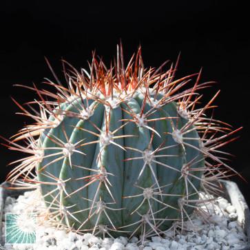 Melocactus azureus, esemplare intero