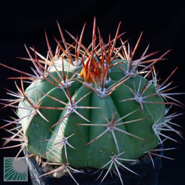 Melocactus brumadoensis, esemplare intero.