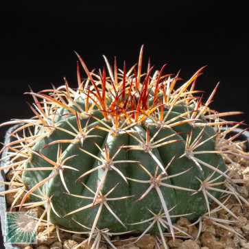 Melocactus conoideus, esemplare intero.