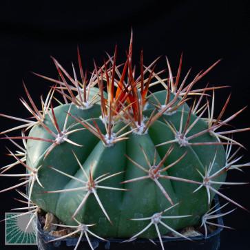 Melocactus curvispinus ssp. curvispinus, esemplare intero.