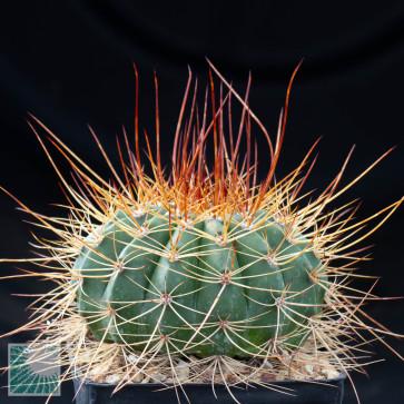 Melocactus ernestii, esemplare intero
