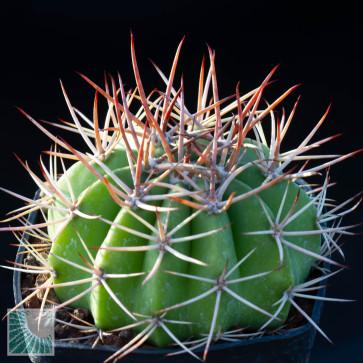 Melocactus oreas ssp. cremnophilus, esemplare intero.