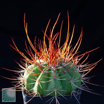 Melocactus rubrispinus, esemplare intero.