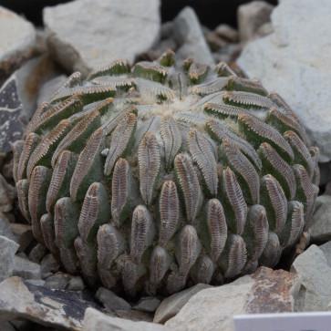 Pelecyphora aselliformis, esemplare intero.