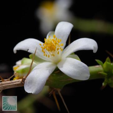 Pereskia weberiana, primo piano del fiore.