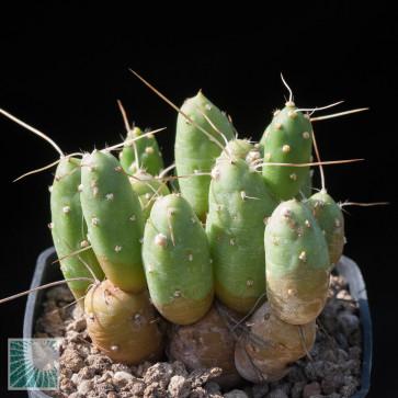 Tephrocactus flexuosus, esemplare intero.