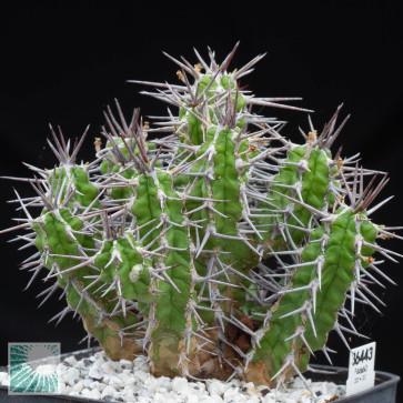 Euphorbia mitriformis, esemplare intero.
