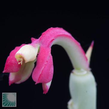 Euphorbia neococcinea, dettaglio dell'infiorescenza.