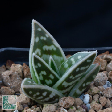 Gonialoe variegata, esemplare intero.