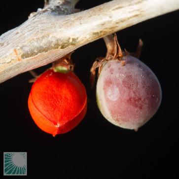 Bursera fagaroides, particolare dei frutti.