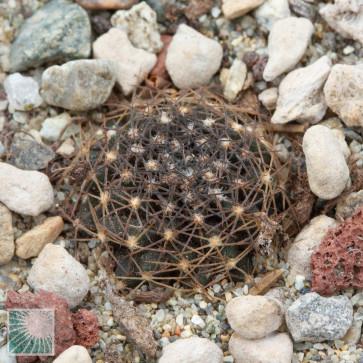 Copiapoa humilis ssp. tenuissima, esemplare intero.