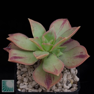 Aeonium leucoblepharum, esemplare intero.
