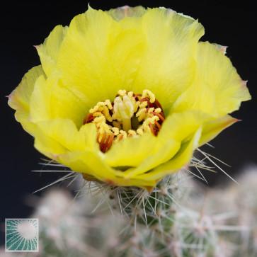 Grusonia bulbispina, primo piano del fiore.