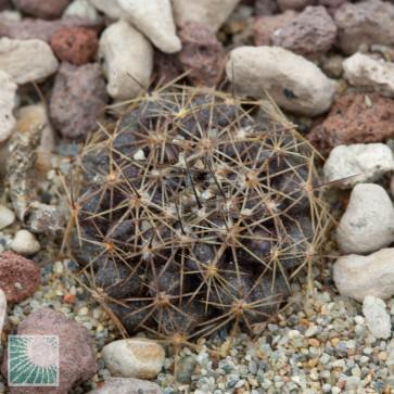 Copiapoa humilis ssp. tocopillana, esemplare intero.