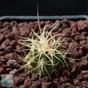 Echinocactus polycephalus f. xeranthemoides, esemplare intero.