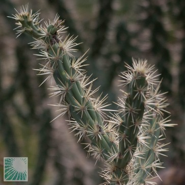 Opuntia acanthocarpa, particolare dell'apice della pianta.