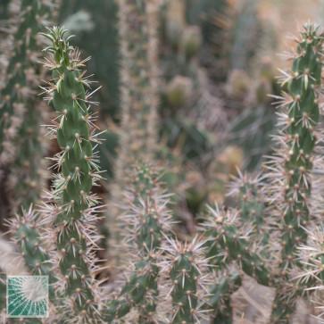 Opuntia echinocarpa, particolare delle ramificazioni.