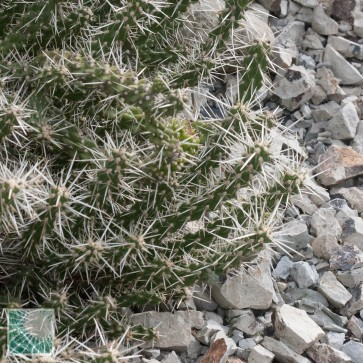 Cylindropuntia whipplei, esemplare intero.