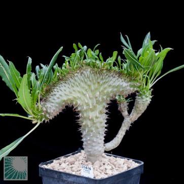 Pachypodium lamerei f. fiherensis, esemplare intero.