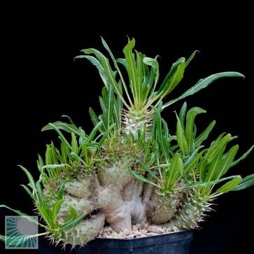 Pachypodium lamerei f. fiherensis, particolare del fusto.