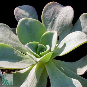 Aeonium nobile, esemplare intero.