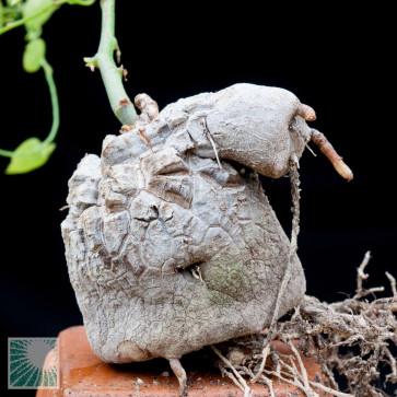 Dioscorea elephantipes, particolare del caudice.