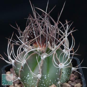 Astrophytum capricorne ssp. senile, esemplare intero.