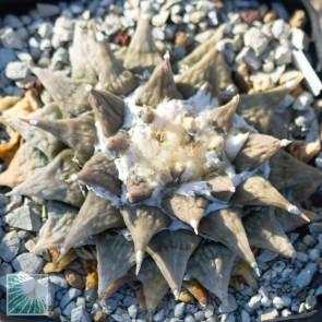 Ariocarpus furfuraceus, esemplare intero.