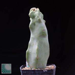 Lophocereus schottii f. mieckleyanus monstrosus