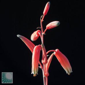 Aloe fleuretteana