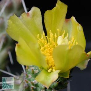 Cylindropuntia whipplei, particolare dei fiori.