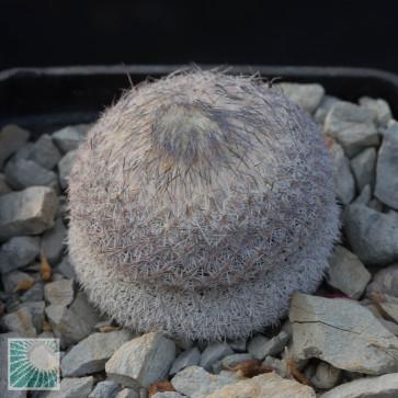 Epithelantha micromeris ssp. greggii, whole plant.