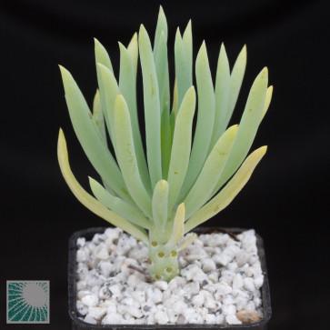 Senecio vitalis, whole plant.