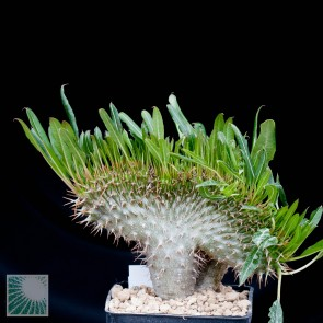 Pachypodium lamerei f. fiherensis, whole plant.